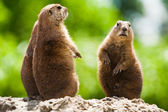 Ground of prairie dogs — Stock Photo