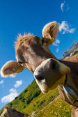 Alpine cow on green meadow — Stock Photo