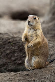 Prarie dog stading next to hole — Stock Photo