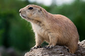 Prarie dog looking sitting of the ground — Stock Photo