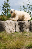 Polar bear on a green meadow — Стоковое фото