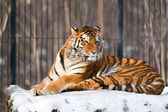 Sibirisk tiger i zoo — Stockfoto