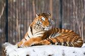Siberian Tiger in Zoo — Stock Photo