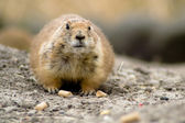 Fat prairie dog sitting on the ground — Stok fotoğraf