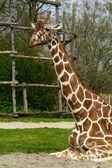 Sitting adult giraffe — Stock Photo