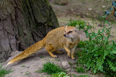 Yellow mongoose under the tree — Stock Photo