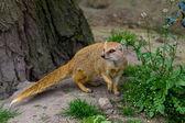 Yellow mongoose under the tree — Stock Photo