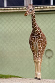 Giraffe in zoo — Stock Photo