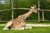 Sitting giraffe — Stock Photo