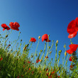 Royalty-Free Stock Photo: Red poppies on sky