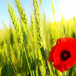 Royalty-Free Stock Photo: Red poppy and wheat