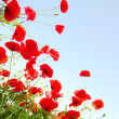 Red poppies — Stock Photo #1067780