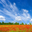 Red poppies — Stock Photo #1067861