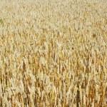 Grain ready for harvest — Stock Photo #1068672