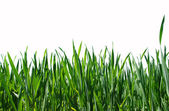 Green lawn isolated — Stock Photo