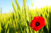 Red poppy and wheat — Stock Photo