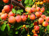 Apricots growings in a garden — Stock Photo