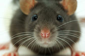 A rat looks at you — Stock Photo