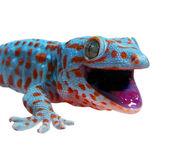 Gecko lizard isolated on white — Stock Photo