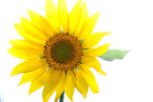 Beautiful yellow Sunflower petals — Stock Photo