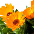 Flowers of calendula — Stock Photo #1207045