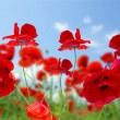 rode papaver — Stockfoto