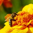 Bee — Stock Photo #1059534