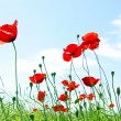 Stock Photo: Poppy red