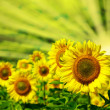 Sunflowers — Stock Photo #1059780