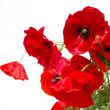 Poppy red — Stockfoto #1066240