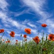 Poppy red - 