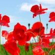 Stockfoto: Poppy red