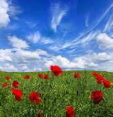 Poppy red — Stock Photo