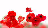 Poppy red — Foto Stock