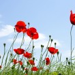Poppy red — Stock Photo #1076447
