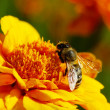 Bee — Stock Photo #1076456