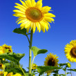 Sunflower — Foto de stock #1076481