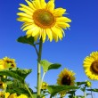 Sunflower — Stockfoto #1076481