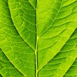 Green leaf - Foto Stock