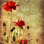 Grunge poppies background — Stock Photo