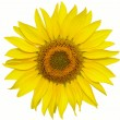 Sunflower — Stock Photo #1079882