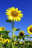 Sunflower — Stockfoto