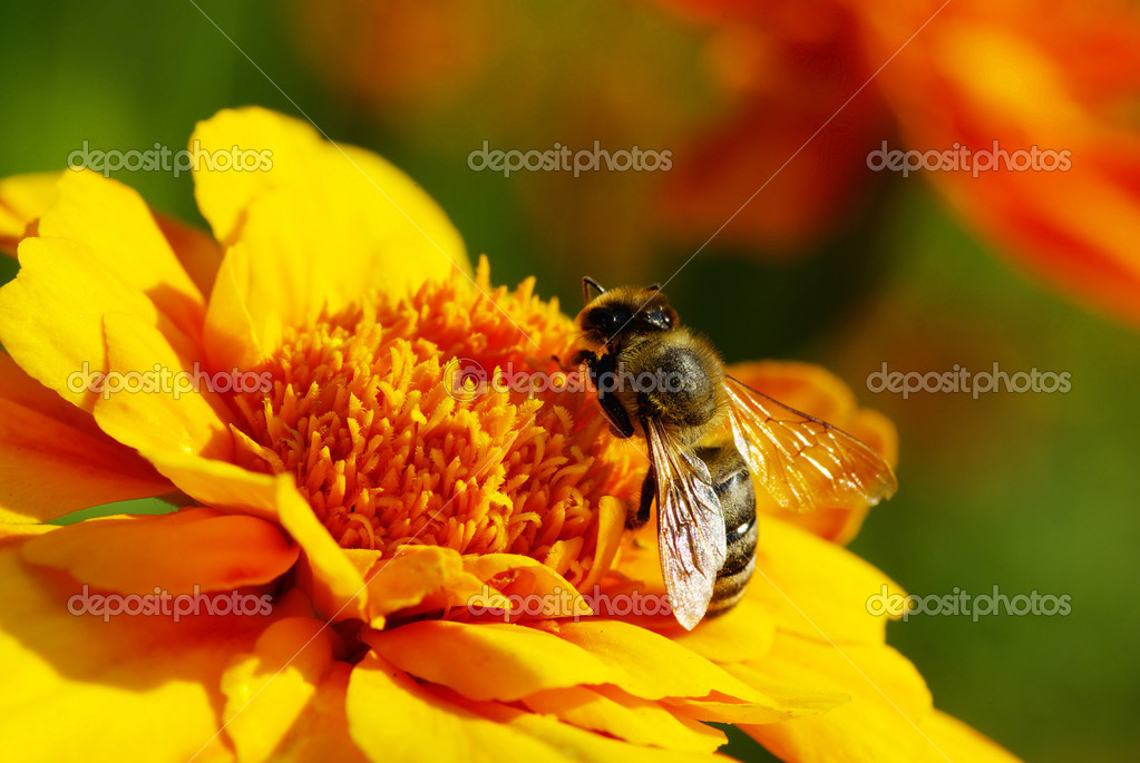 Bee on a yellow  flower — Stock Photo #1076456