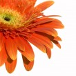 Gerbera — Stock Photo #1253465