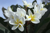 White flowers — Stockfoto