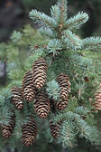 Pine with green needle — Stock Photo