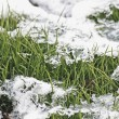 Stock Photo: Grass under snow.