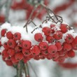 Stock Photo: Mountain ash berries