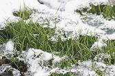 Grass under snow. — Stock Photo