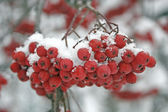Mountain ash berries — Stock Photo